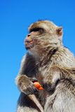 Barbary ape, Gibraltar. Stock Images