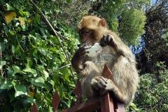 Barbary Ape of Gibraltar. Eating a stolen ice cream stock image