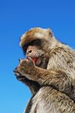 Barbary Ape, Gibraltar. Barbary Ape (Macaca Sylvanus) eating a carrot, Gibraltar, United Kingdom, Western Europe Royalty Free Stock Photos