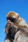 Barbary Ape, Gibraltar. Barbary Ape (Macaca Sylvanus) eating a carrot, Gibraltar, United Kingdom, Western Europe Royalty Free Stock Photography