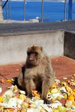 Barbary Ape, Gibraltar. Barbary Ape (Macaca Sylvanus) eating raw fruit and veg, Gibraltar, United Kingdom, Western Europe Stock Photos