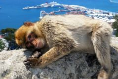 Barbary Ape, Gibraltar. Barbary Ape (Macaca Sylvanus) lying on a wall near the top of the rock with the Mediterranean Sea and Spanish coastline to the rear Stock Photos