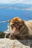 Barbary Ape, Gibraltar. Barbary Ape (Macaca Sylvanus) sitting on a wall near the top of the rock with the Mediterranean Sea and Spanish coastline to the rear Royalty Free Stock Images