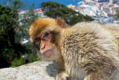 Barbary Ape, Gibraltar. Barbary Ape (Macaca Sylvanus) sitting on a wall near the top of the rock with the Mediterranean Sea to the rear, Gibraltar, United Royalty Free Stock Images