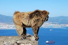 Barbary Ape, Gibraltar. Barbary Ape (Macaca Sylvanus) standing on a wall, Gibraltar, United Kingdom, Western Europe Royalty Free Stock Image