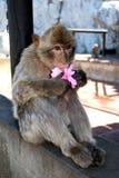 Barbary Ape, Gibraltar. Barbary Ape (Macaca Sylvanus) trying to eat a silk flower hair accessory, Gibraltar, United Kingdom, Western Europe Stock Image