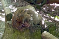 Barbary ape lying on a stub. Barbary ape lying in the wood on the stub of a tree, Salem, Germany Royalty Free Stock Photography