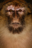 Barbary Ape (Macaca sylvanus) in cedar wood near Stock Photography