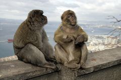 Barbary ape or macaque, Macaca sylvanus Stock Photos