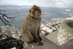 Barbary ape or macaque, Macaca sylvanus Stock Images
