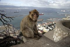 Barbary ape or macaque, Macaca sylvanus Stock Photos
