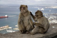 Barbary ape or macaque, Macaca sylvanus. Gibralter Stock Images