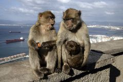 Barbary ape or macaque, Macaca sylvanus. Gibralter Royalty Free Stock Images