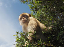 A Barbary Ape or Macaque Monkey of Gibraltar Stock Photography