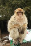 Barbary Ape royalty free stock photos