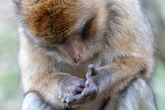 Barbary macaque looking at the palm lines of its hand. Barbary ape or magot Macaca sylvanus is yellowish-brown to grey monkey with dark pink face royalty free stock image