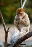 Barbary ape relaxing Stock Images