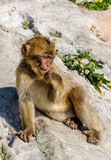 Barbary ape on rock Royalty Free Stock Photography