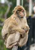 Barbary Ape Sitting on Fence. A full body picture of a Barbary ape sitting on a fence Royalty Free Stock Photography