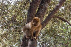 Barbary Apes in the Cedar Forest near Azrou, Northern Morocco, Africa. Royalty Free Stock Photography