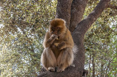 Barbary Apes in the Cedar Forest near Azrou, Northern Morocco, Africa. Royalty Free Stock Image