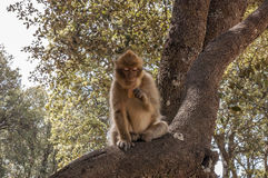 Barbary Apes in the Cedar Forest near Azrou, Northern Morocco, Africa. Stock Photos