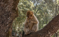 Barbary Apes in the Cedar Forest near Azrou, Northern Morocco, Africa. Stock Images