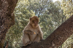 Barbary Apes in the Cedar Forest near Azrou, Northern Morocco, Africa. Barbary Apes in the Cedar Forest near Azrou, Northern Morocco, Africa Royalty Free Stock Photos