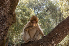 Barbary Apes in the Cedar Forest near Khenifra, Northern Morocco, Africa. Barbary Apes in the Cedar Forest near Khenifra, Northern Morocco, Africa Stock Photo