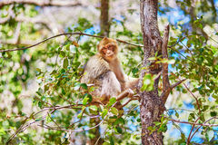 Barbary Apes in the Cedar Forest in Northern Morocco Royalty Free Stock Photos