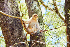 Barbary Apes in the Cedar Forest in Northern Morocco Stock Photography