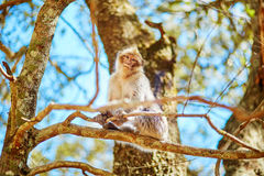 Barbary Apes in the Cedar Forest in Northern Morocco Stock Photos