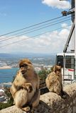 Barbary Apes, Gibraltar. Royalty Free Stock Photo