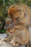 Barbary Apes, Gibraltar. Royalty Free Stock Photography