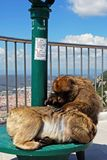 Barbary Apes, Gibraltar. Stock Photography