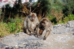 Barbary Apes, Gibraltar. Stock Image