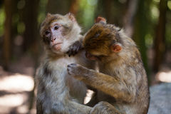 Barbary apes grooming each other. Barbary apes are grooming each other stock images