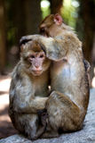 Barbary apes grooming each other Stock Photo