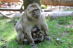 Barbary apes Stock Photography