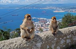 Barbary apes sitting on a wall, Gibraltar. Royalty Free Stock Photos