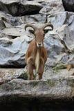 Barbary cakle (Ammotragus lervia) Fotografia Royalty Free