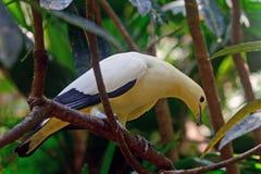 Barbary dove Stock Photo