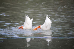 Barbary Duck in Lake. Two Barbary duck drakes diving for food in lake Stock Photos