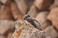 Barbary-Eichhörnchen auf dem Felsen Stockbilder