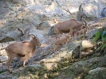 Barbary får (Ammotraguslerviaen) Fotografering för Bildbyråer