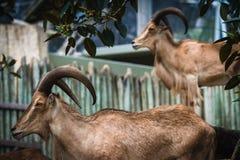 Barbary får i en zoo Royaltyfri Fotografi