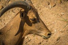 Barbary får och solljus Royaltyfri Fotografi