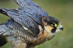 Barbary Falcon Stock Image