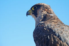 Barbary Falcon (Falco pelegrinoides) Royalty Free Stock Photography