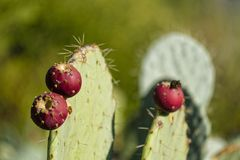 Barbary figs. Close-up on some barbary figs - also called cactus pear. Photo taken in Tuscany, Italy stock image